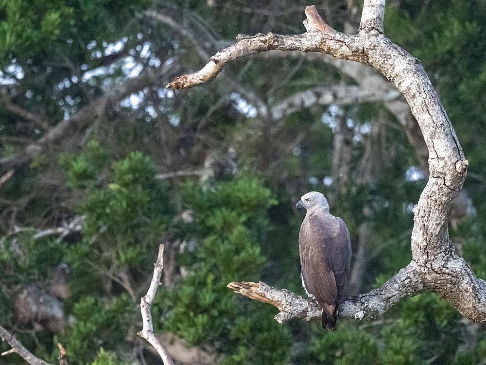 Adult grey-headed fish eagle (Haliaeetus ichthyaetus) perched on a tree, Wilpattu National Park, Sri Lanka, Asia