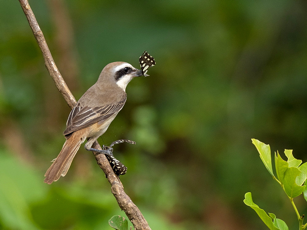 An adult brown shrike (Lanius cristatus), eating a moth, Udawalawe National Park, Sri Lanka, Asia
