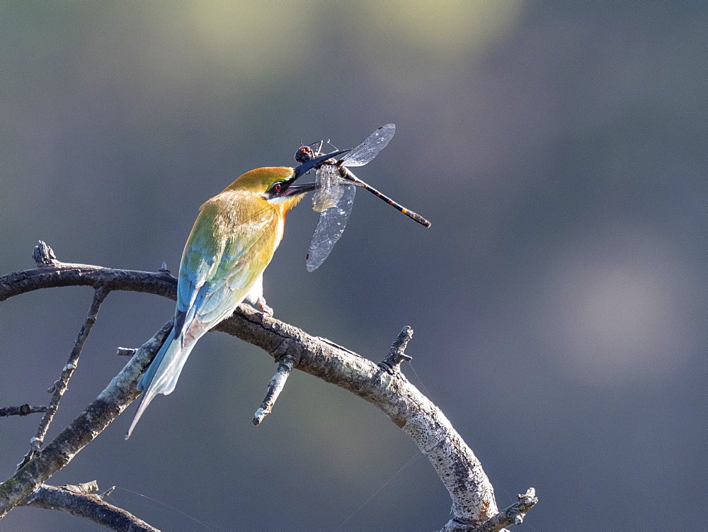 An adult blue-tailed bee-eater (Merops philippinus), with a dragonfly, Wilpattu National Park, Sri Lanka, Asia
