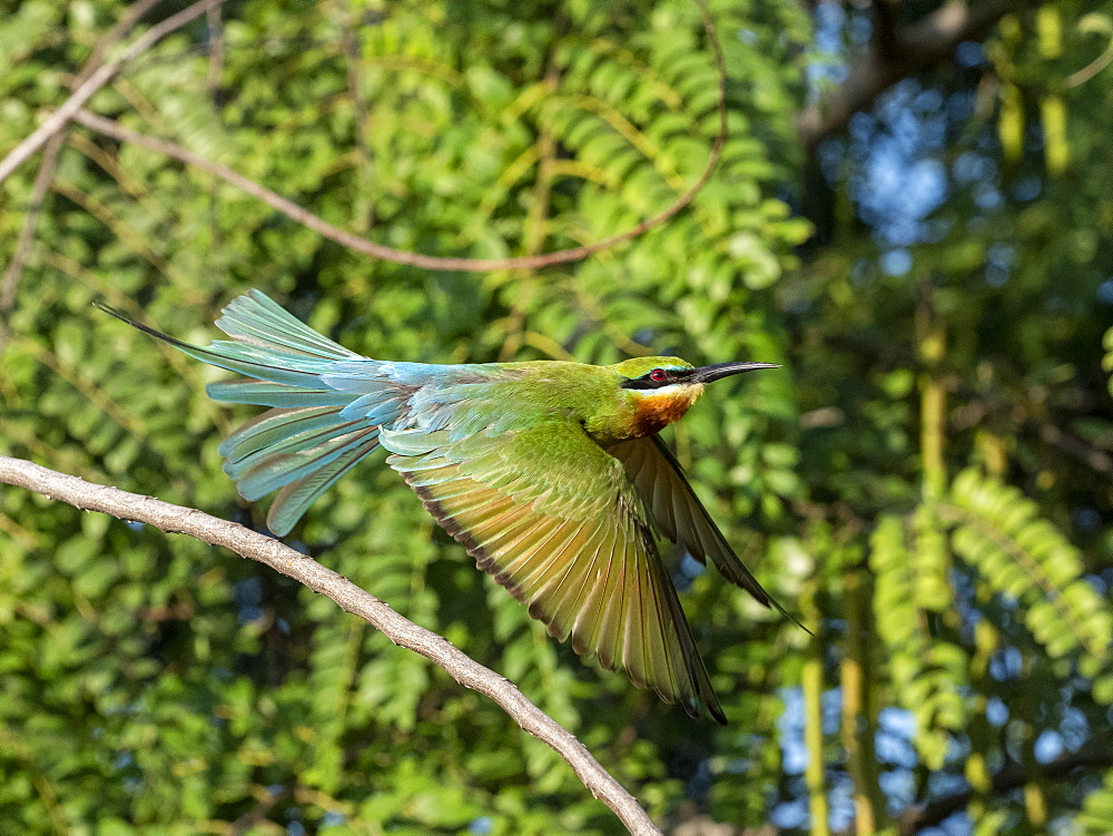 An adult blue-tailed bee-eater (Merops philippinus), taking flight, Yala National Park, Sri Lanka, Asia