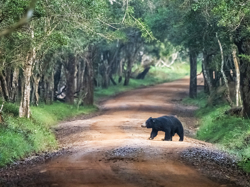 An adult sloth bear (Melursus ursinus) crossing the road in Wilpattu National Park, Sri Lanka, Asia