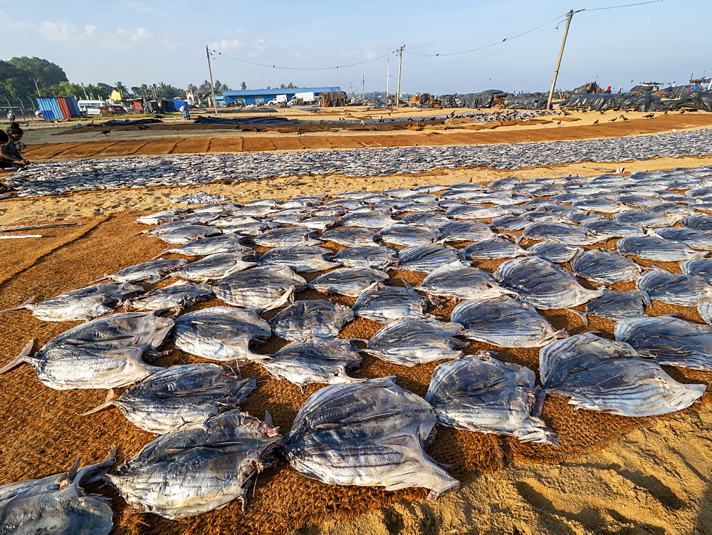 Cleaned fish layed out and drying in the sun on woven mats at the Negombo fish market, Negombo, Sri Lanka, Asia