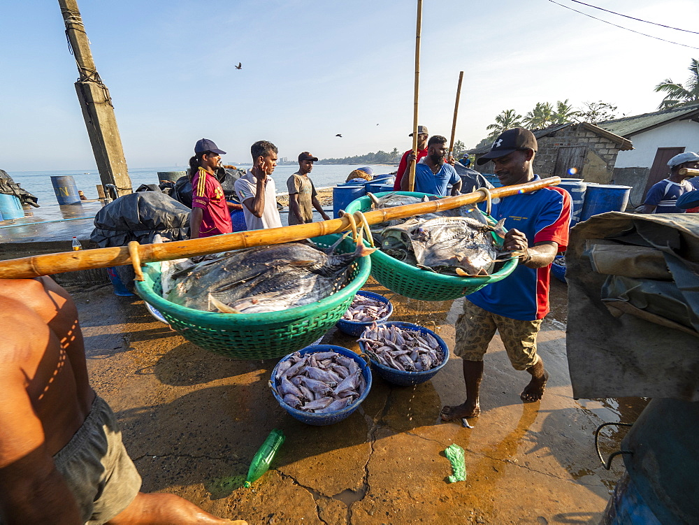 Workers unload and transport the days catch at the Negombo fish market, Negombo, Sri Lanka, Asia