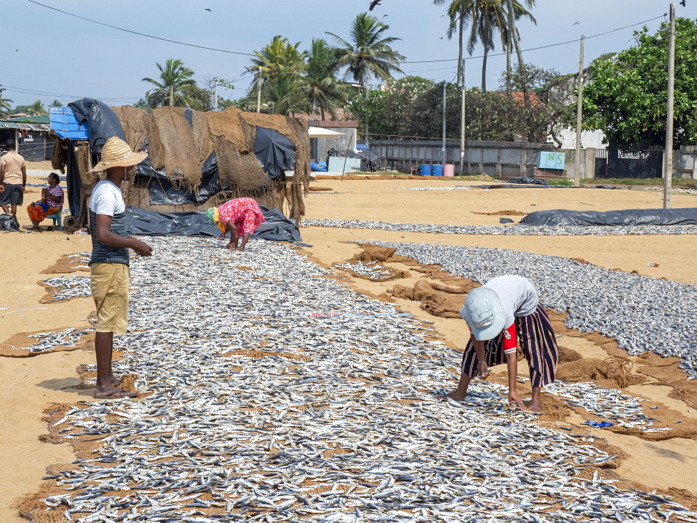 Workers lay out the days catch to dry in the sun at the Negombo fish market, Negombo, Sri Lanka, Asia