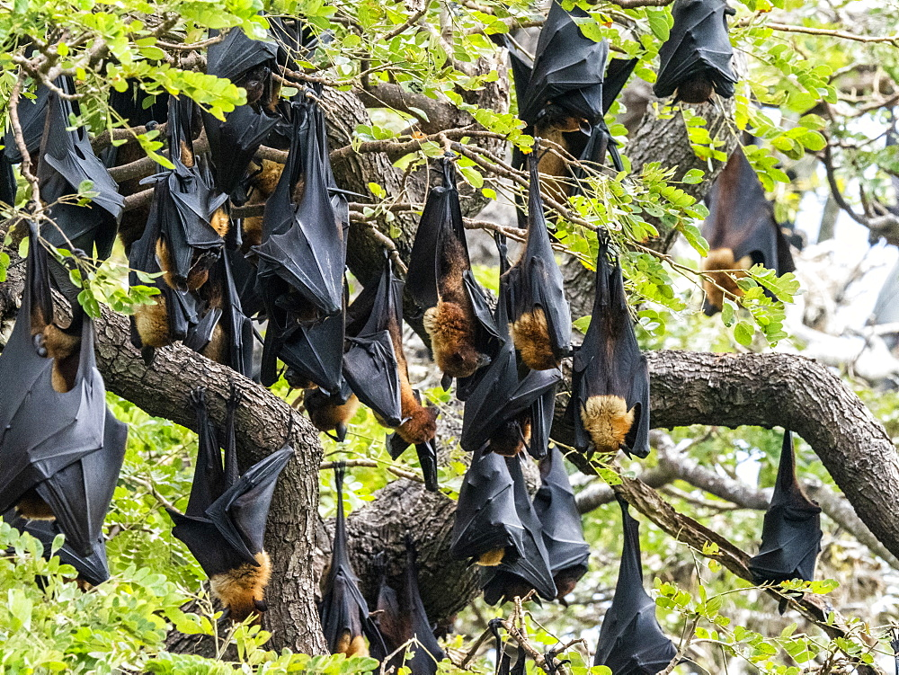 Adult Indian flying foxes (Pteropus medius) roosting during the day near Yala National Park, Sri Lanka, Asia