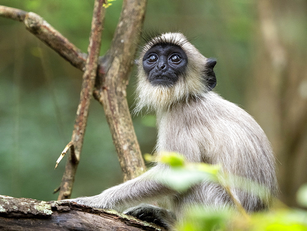 A young tufted gray langur (Semnopithecus priam), in Polonnaruwa, UNESCO World Heritage Site, Sri Lanka, Asia