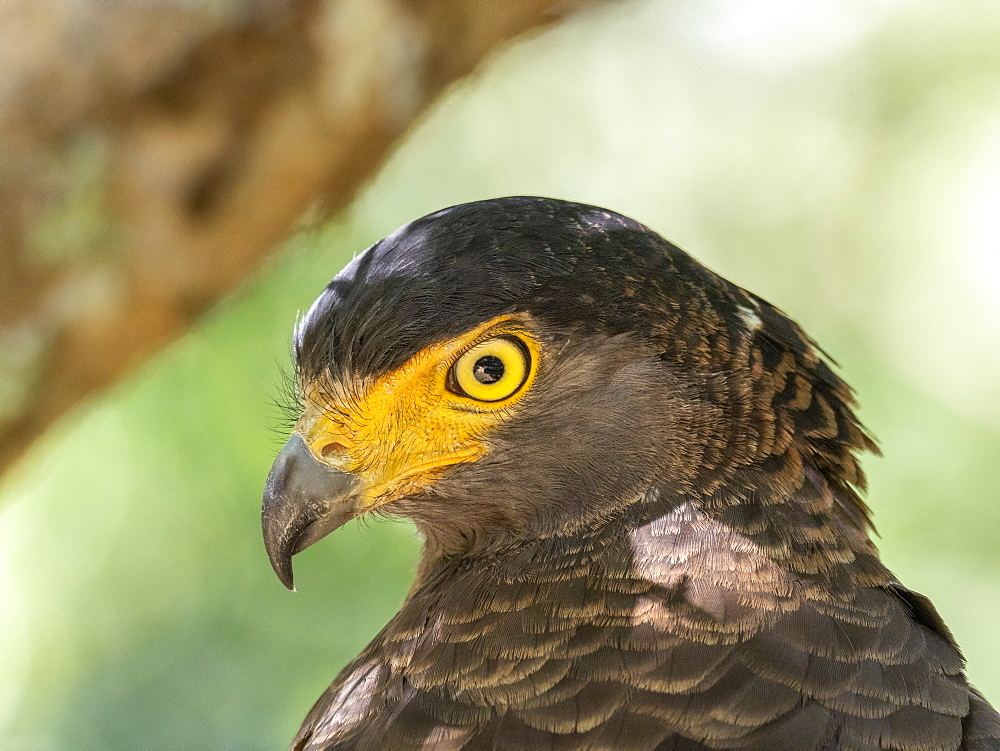 Adult crested serpent eagle (Spilornis cheela), perched on a tree, Wilpattu National Park, Sri Lanka, Asia