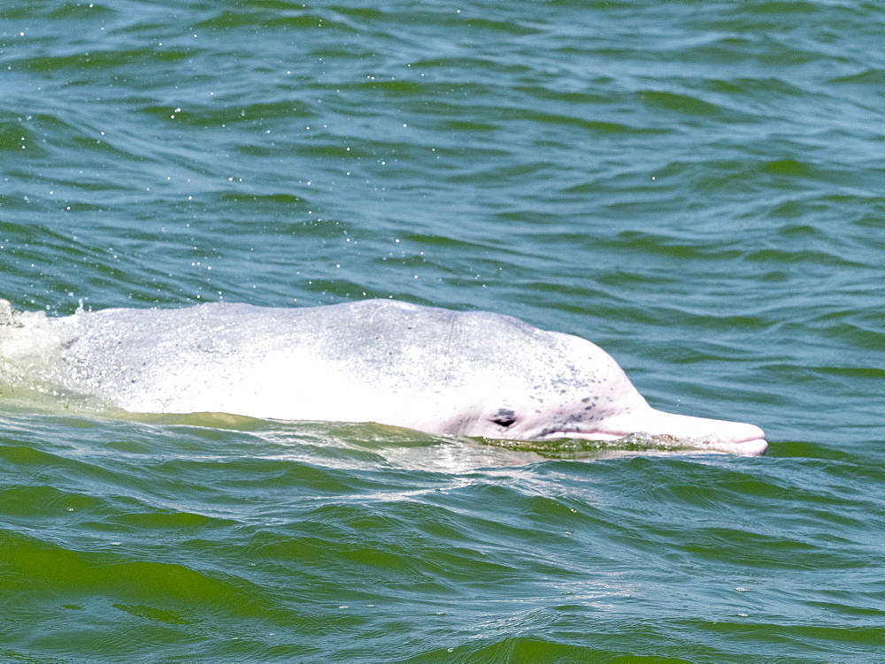 An adult Indian Ocean Humpback Dolphin (Sousa plumbea), surfacing off the Kalpitiya Peninsula, Sri Lanka, Asia