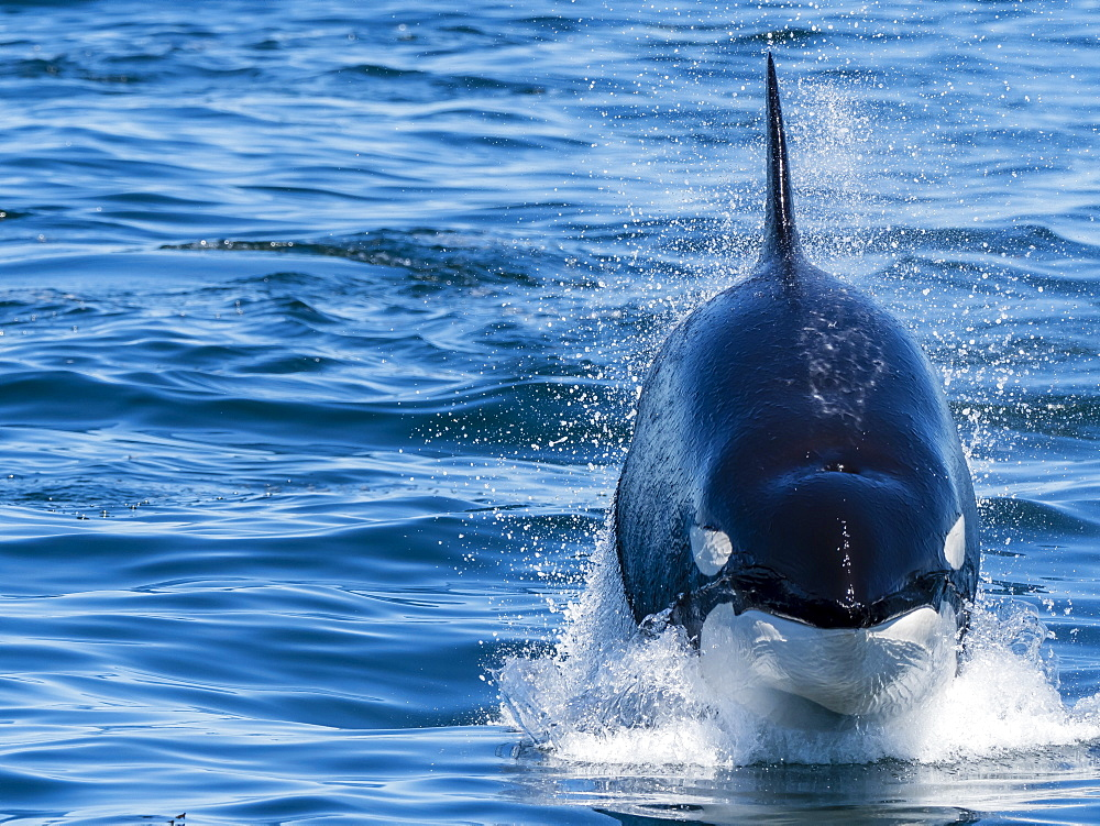 Transient killer whale (Orcinus orca), power lunging, Monterey Bay National Marine Sanctuary, California, United States of America, North America