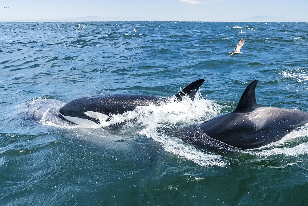 Transient killer whales (Orcinus orca) feeding on a California grey whale calf, Monterey Bay, California, United States of America, North America