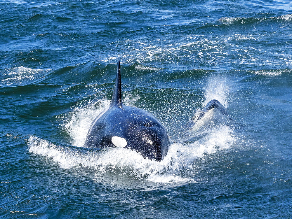 Transient killer whales (Orcinus orca), pursuing a California grey whale calf, Monterey Bay, California, United States of America, North America