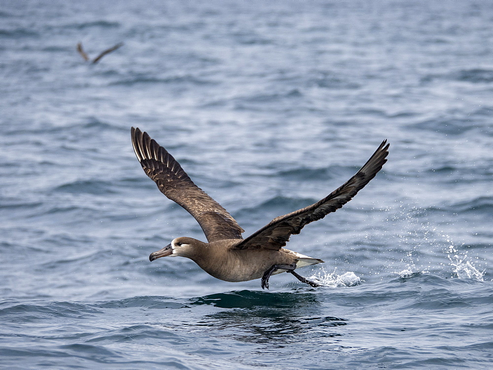 An adult black-footed albatross (Phoebastria nigripes), taking flight at sea, Monterey Bay, California, United States of America, North America