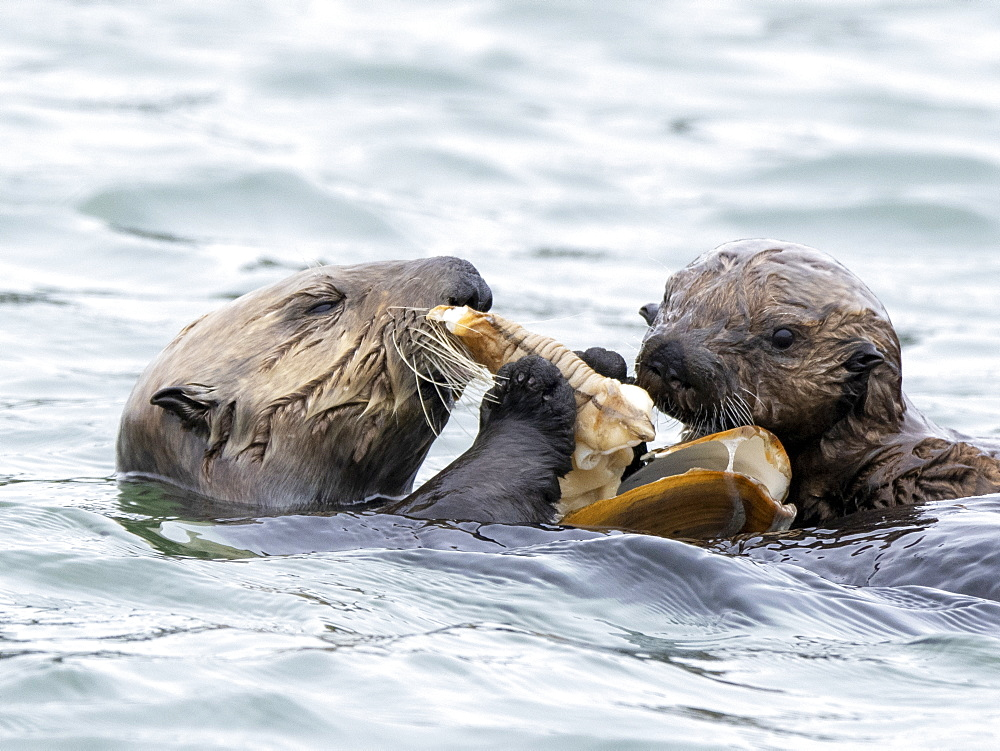 A mother and pup sea otter (Enhydra lutris), sharing a clam meal in Elkhorn Slough near Moss Landing, California, United States of America, North America