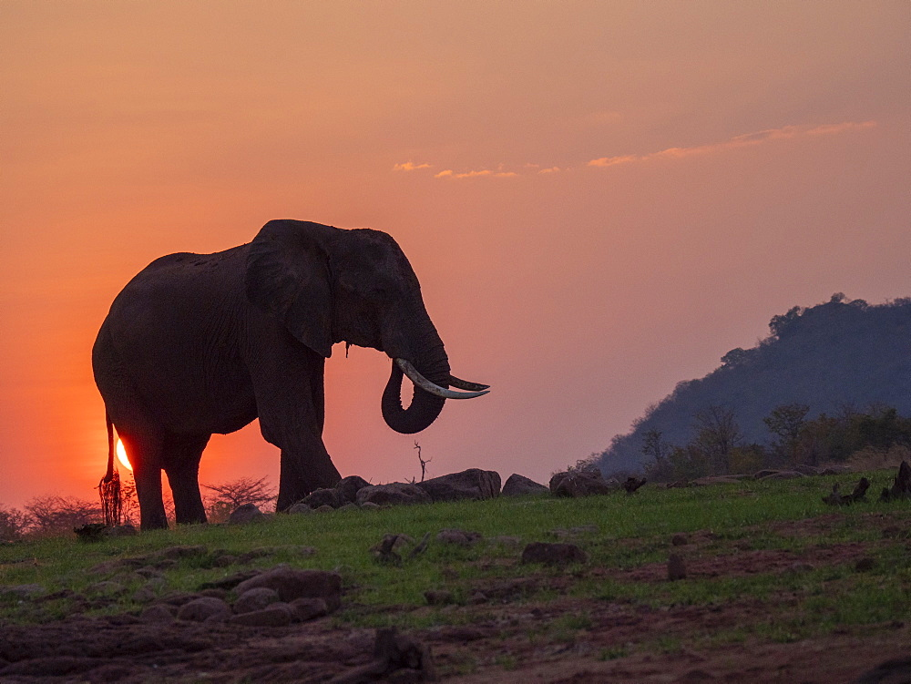 An adult African bush elephant (Loxodonta africana) at sunset on the shore of Lake Kariba, Zimbabwe, Africa