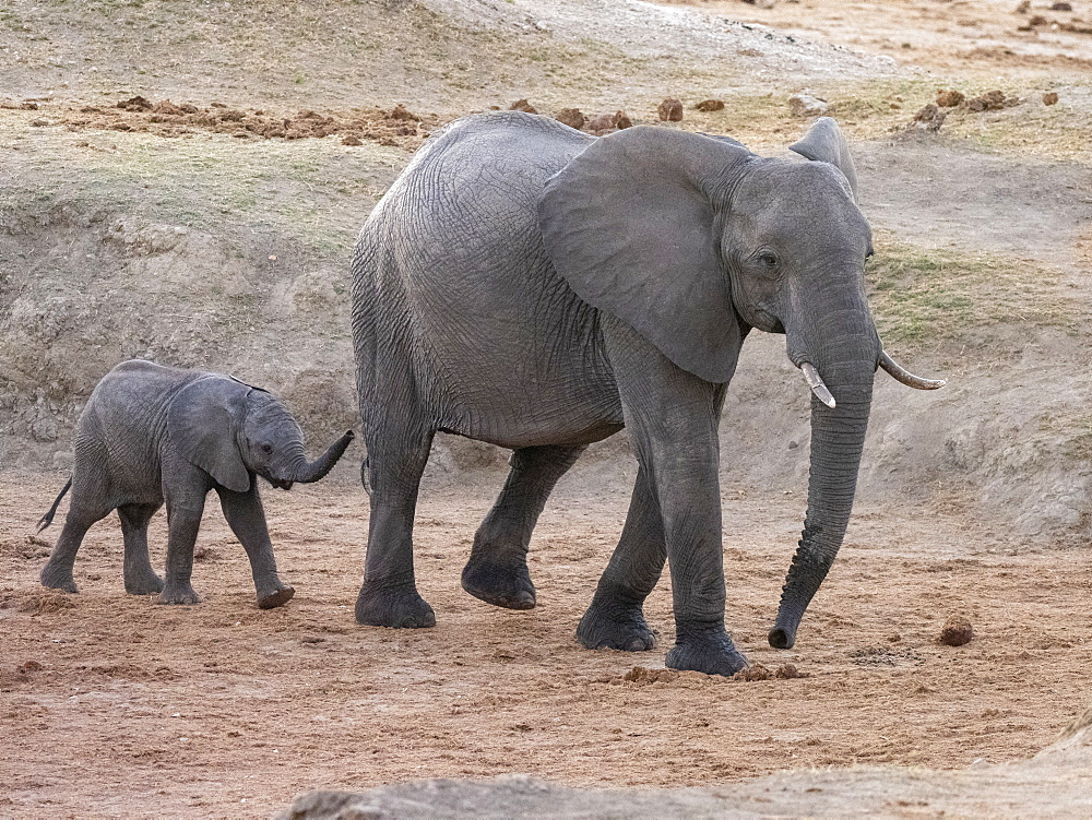 African bush elephant (Loxodonta africana), mother and calf in Hwange National Park, Zimbabwe, Africa