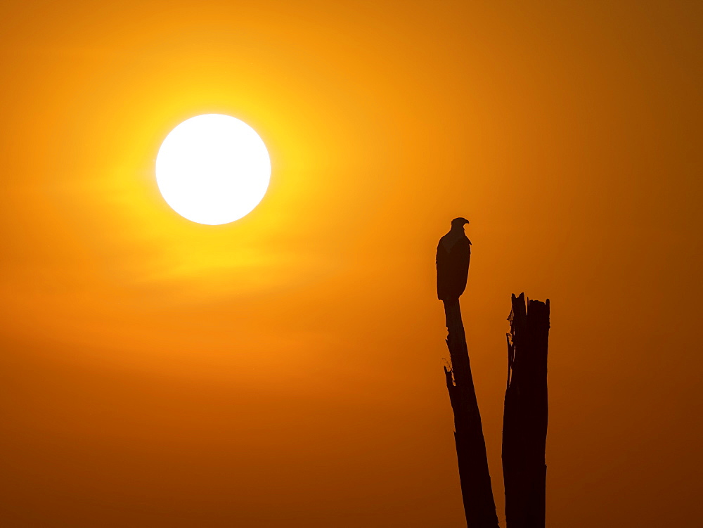 An adult African fish eagle (Haliaeetus vocifer), perched at sunset on the shores of Lake Kariba, Zimbabwe, Africa