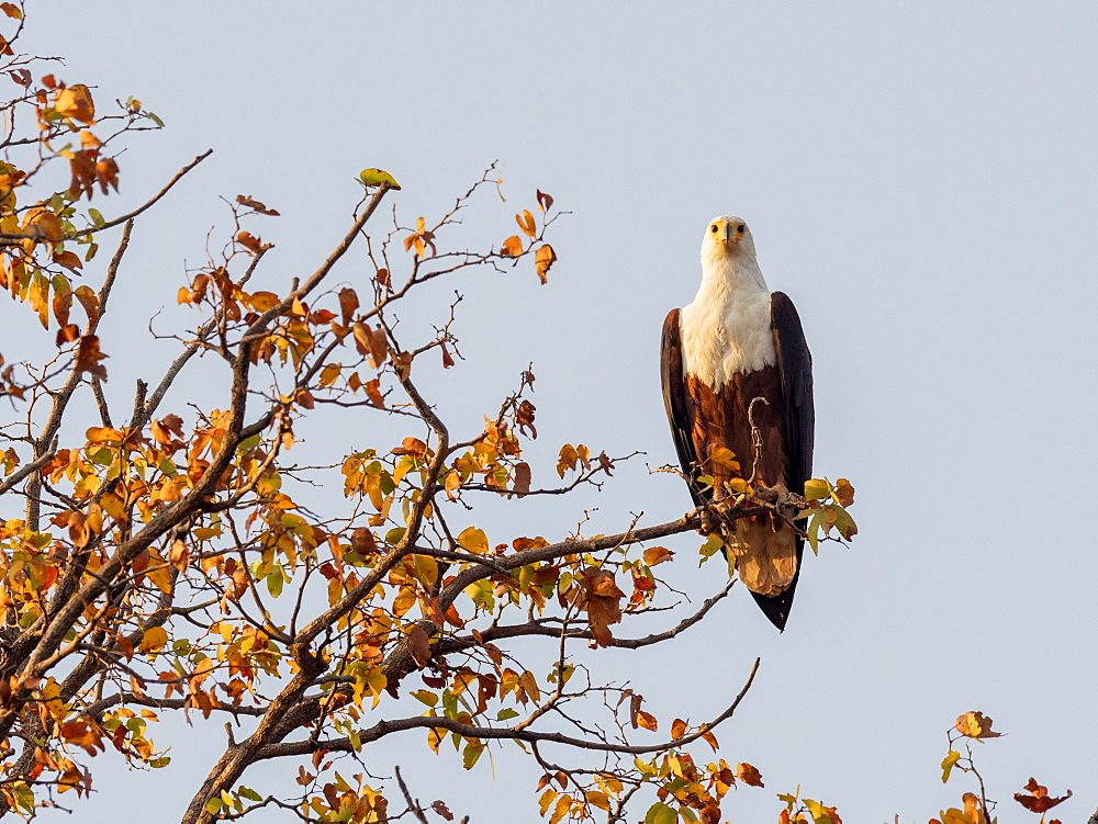 An adult African fish eagle, Haliaeetus vocifer, perched on the shores of Lake Kariba, Zimbabwe.