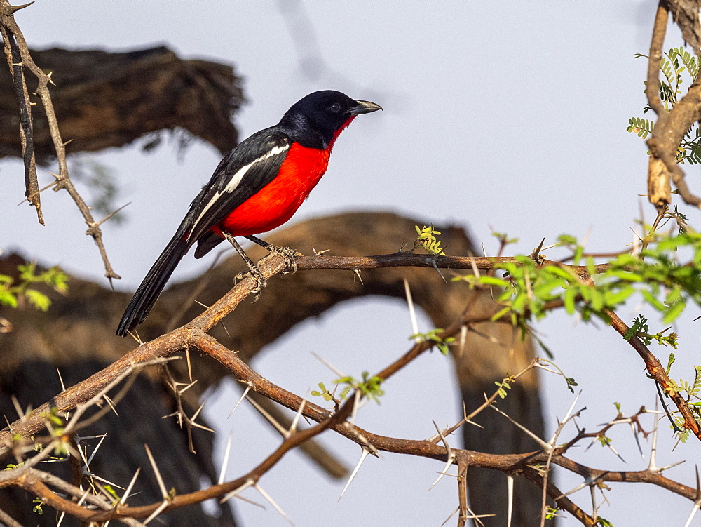 An adult crimson-breasted shrike (Laniarius atrococcineus), in Hwange National Park, Zimbabwe, Africa