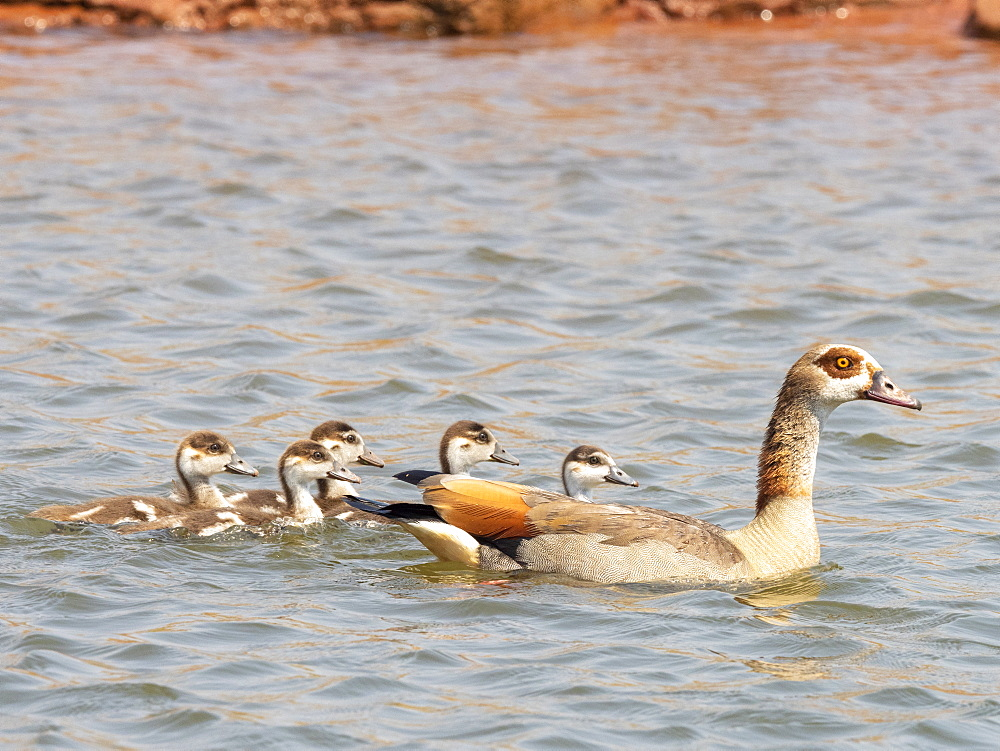 An adult Egyptian goose, Alopochen aegyptiaca, swimming with goslings in Lake Kariba, Zimbabwe.