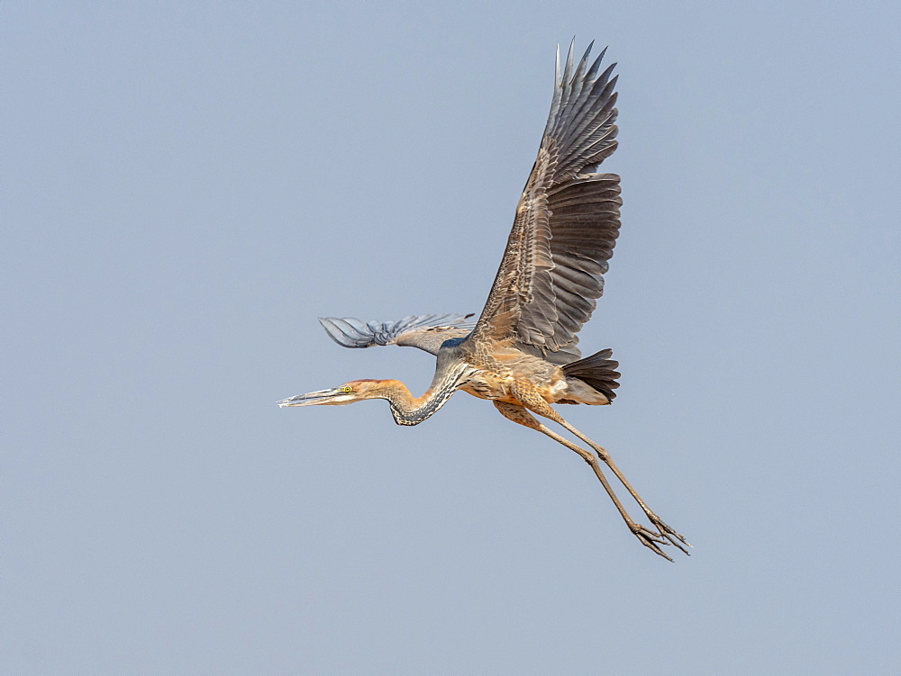 Adult goliath heron, Ardea goliath, taking flight near Lake Kariba, Zimbabwe.