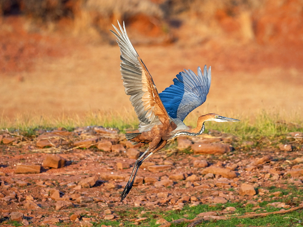 Adult goliath heron (Ardea goliath), taking flight on the shoreline of Lake Kariba, Zimbabwe, Africa