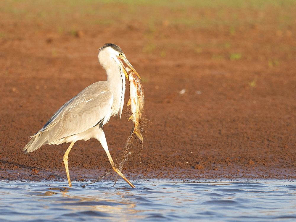 Adult grey heron (Ardea cinerea), with fish at Musango Bush Camp, Lake Kariba, Zimbabwe, Africa