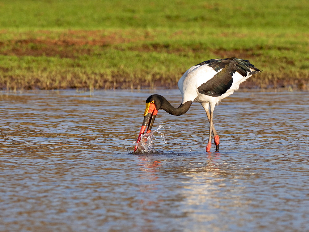 Adult saddle-billed stork, Ephippiorhynchus senegalensis, searching for food on Lake Kariba, Zimbabwe.