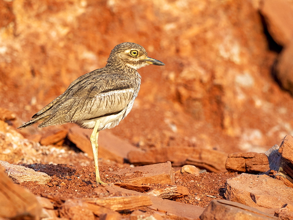 An adult water thick-knee (Burhinus vermiculatus), on the shore of Lake Kariba, Zimbabwe, Africa