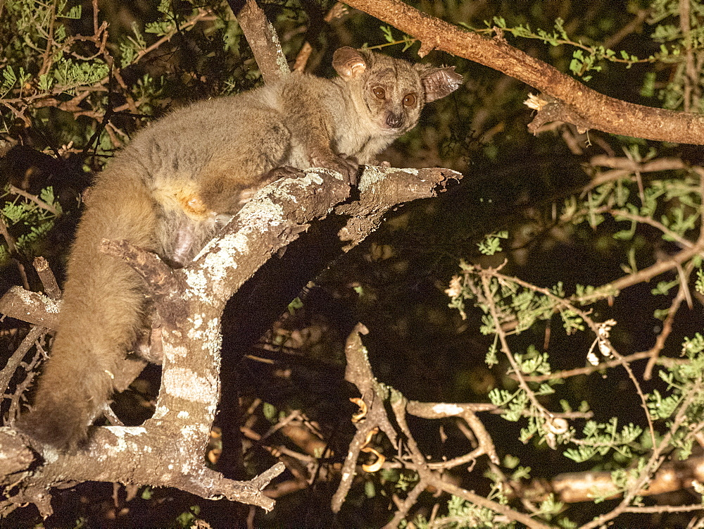 Adult brown greater galago, Otolemur crassicaudatus, at night in the Savé Valley Conservancy, Zimbabwe.