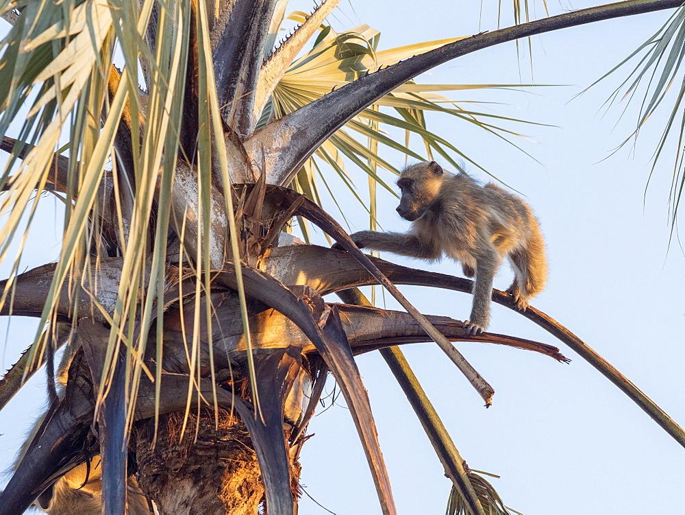 A chacma baboon, Papio ursinus, climbing a palm tree, Hwange National Park, Zimbabwe.