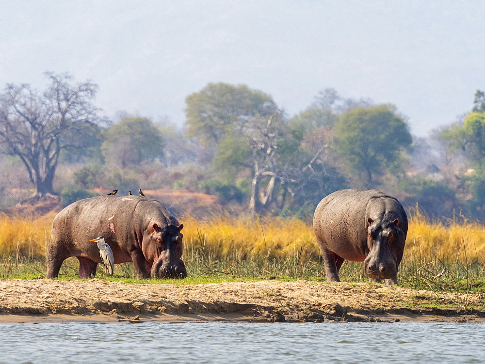 Adult hippopotamuses (Hippopotamus amphibius), near Mana Pools on the Lower Zambezi River, Zimbabwe, Africa
