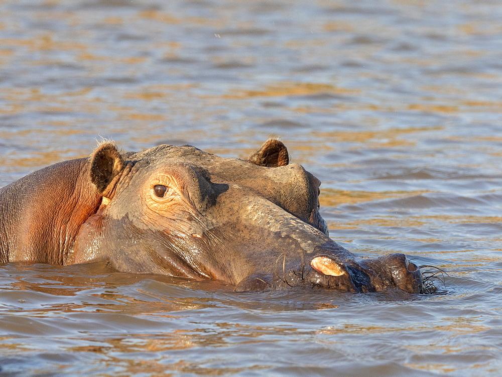 Adult hippopotamus (Hippopotamus amphibius) bathing in Lake Kariba, Zimbabwe, Africa
