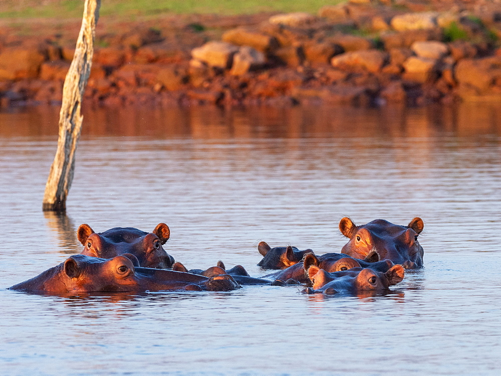 Adult hippopotamuses (Hippopotamus amphibius), bathing at sunset in Lake Kariba, Zimbabwe, Africa