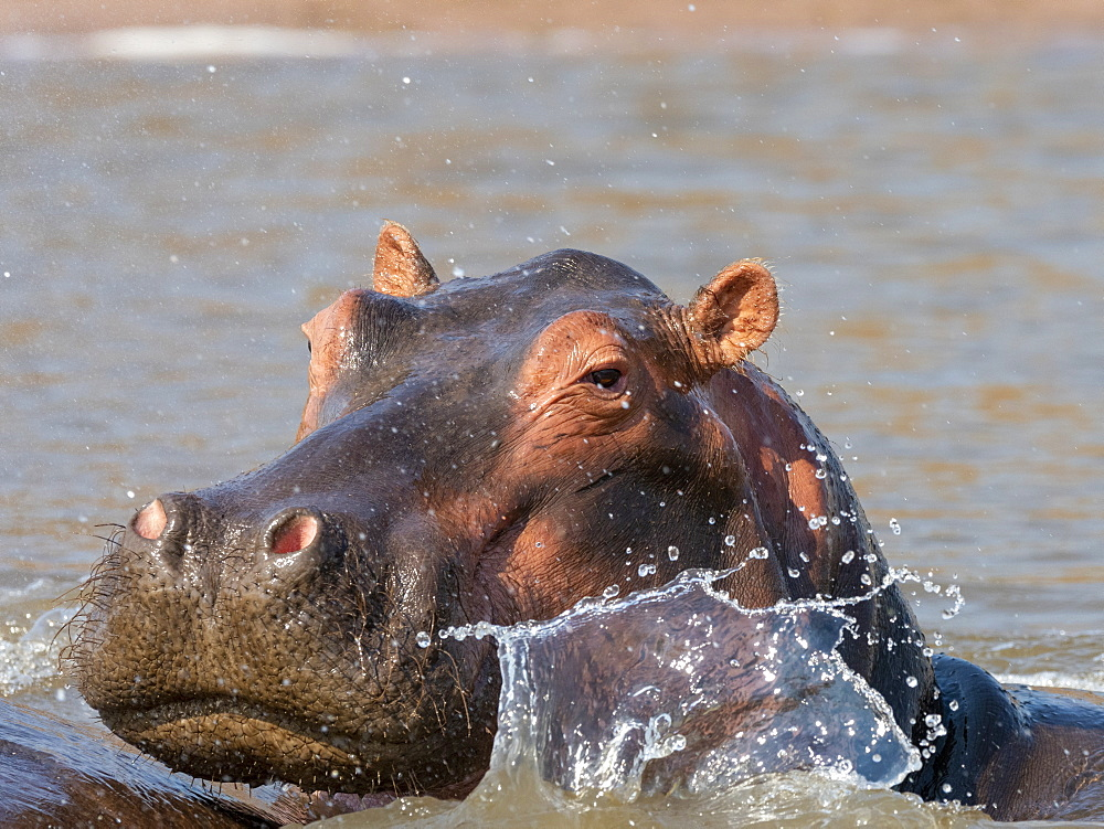 Adult hippopotamus (Hippopotamus amphibius), bathing in Lake Kariba, Zimbabwe, Africa