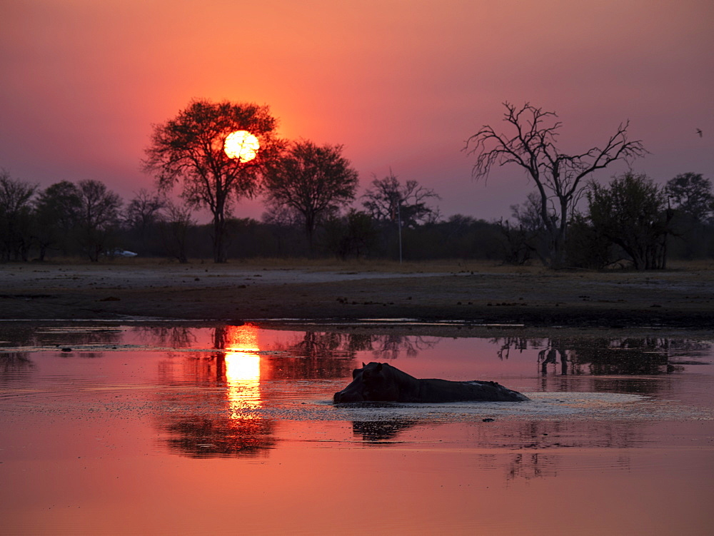 Adult hippopotamus (Hippopotamus amphibius) bathing at sunset in Hwange National Park, Zimbabwe, Africa