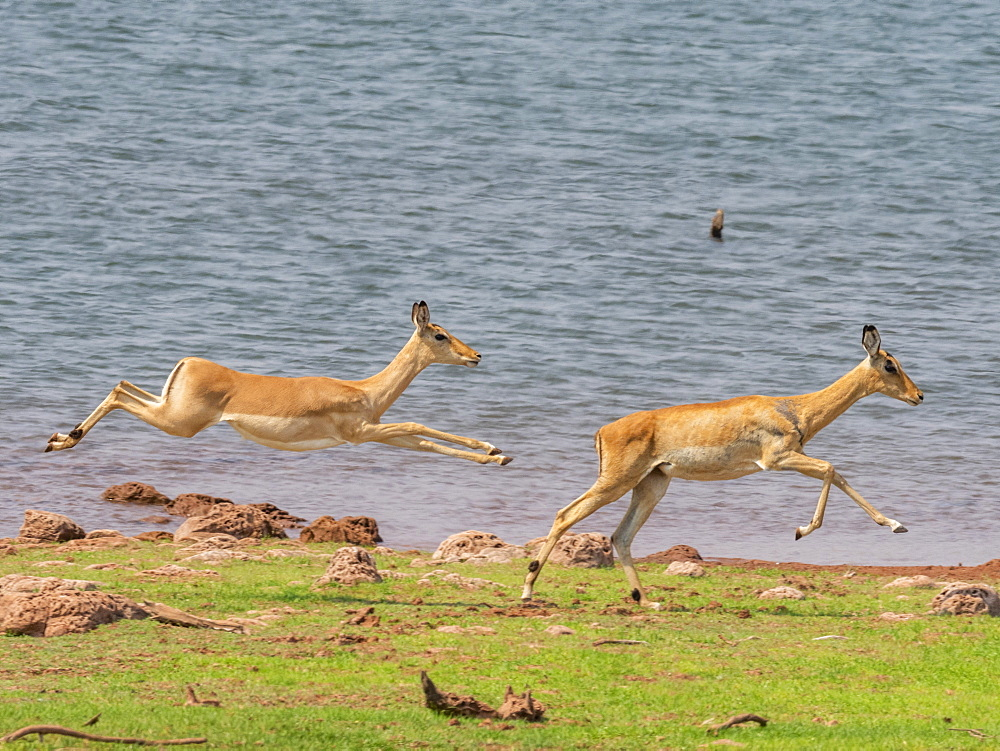 Adult impalas (Aepyceros melampus), running along the shoreline of Lake Kariba, Zimbabwe, Africa