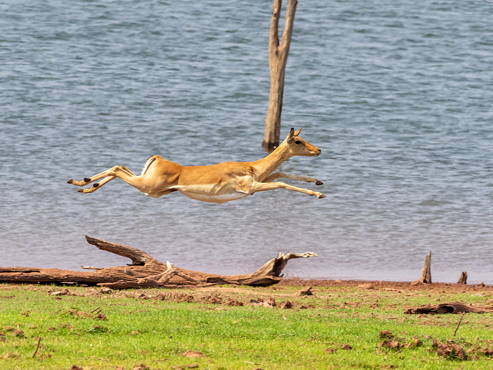 Adult impala (Aepyceros melampus), running along the shoreline of Lake Kariba, Zimbabwe, Africa