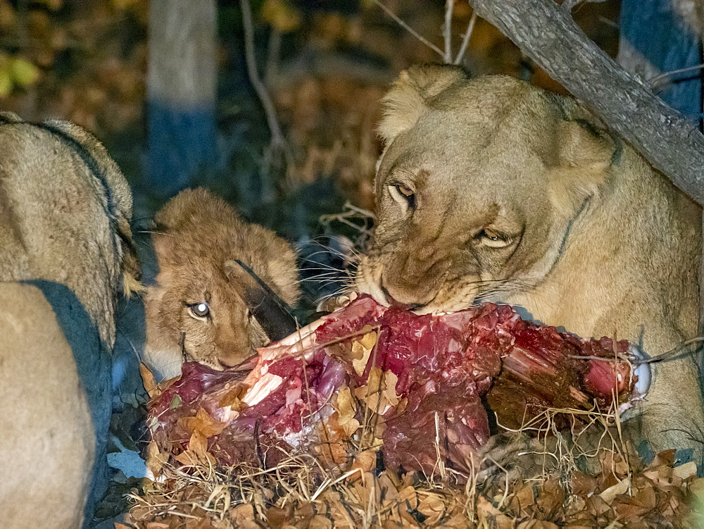 Adult lioness, Panthera leo, with cub on a fresh kill at night in the Savé Valley Conservancy, Zimbabwe.