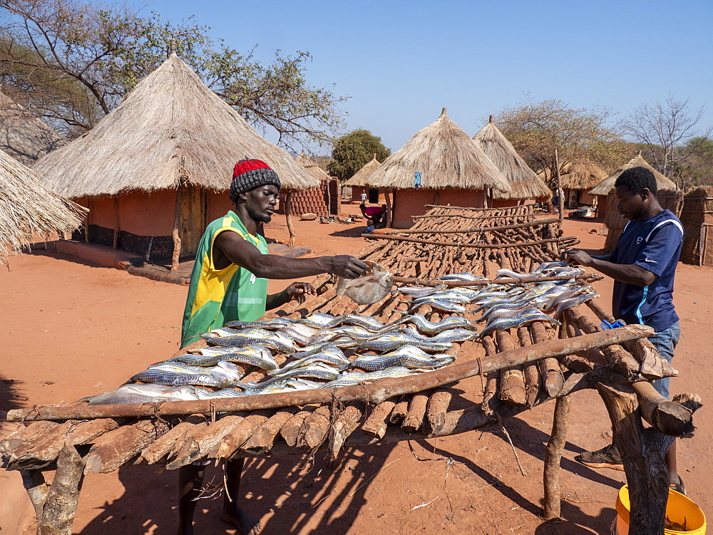 The days catch of fish drying in the sun in the fishing village of Musamba, on the shoreline of Lake Kariba, Zimbabwe.