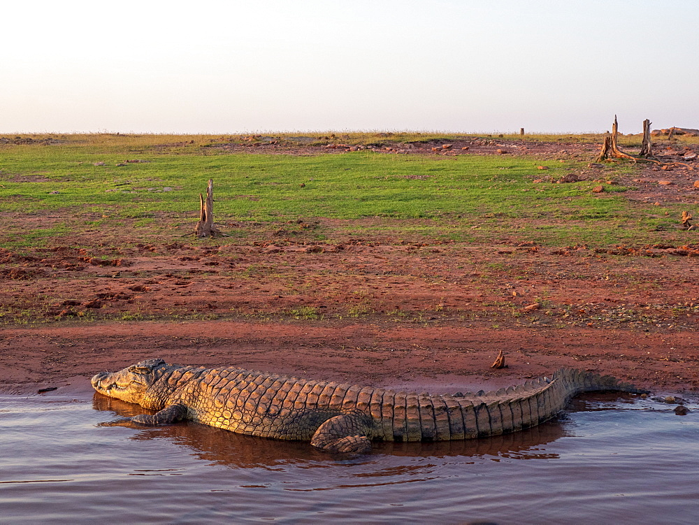 An adult Nile crocodile, Crocodylus niloticus, basking in the sun on the shoreline of Lake Kariba, Zimbabwe.