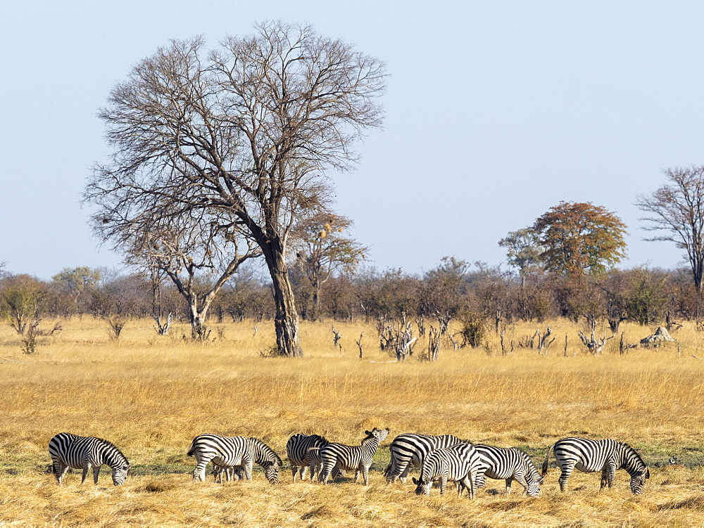 A herd of plains zebras, Equus quagga, grazing in Hwange National Park, Zimbabwe.