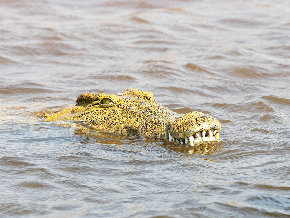 An adult Nile crocodile, Crocodylus niloticus, in the water near the shoreline of Lake Kariba, Zimbabwe.