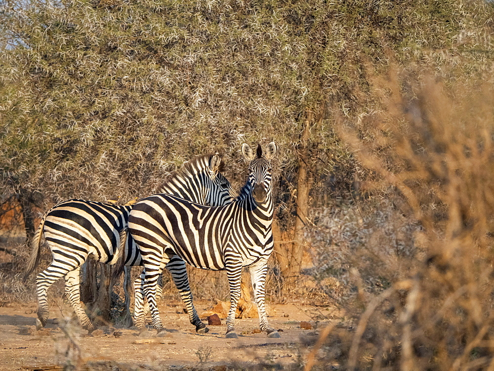 Adult plains zebras, Equus quagga, in Save Valley Conservancy, Zimbabwe.