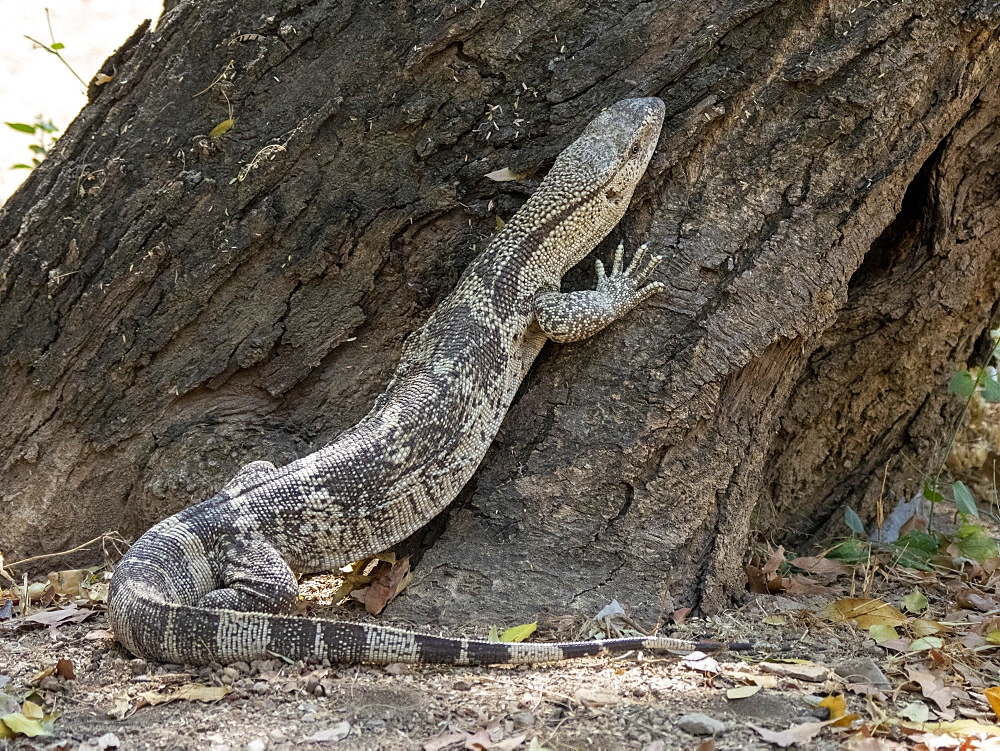 Adult white-throated savanna monitor (Varanus albigularis), climbing a tree in the Save Valley Conservancy, Zimbabwe, Africa