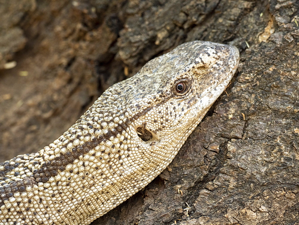 Adult white-throated savanna monitor (Varanus albigularis), head detail, Save Valley Conservancy, Zimbabwe, Africa