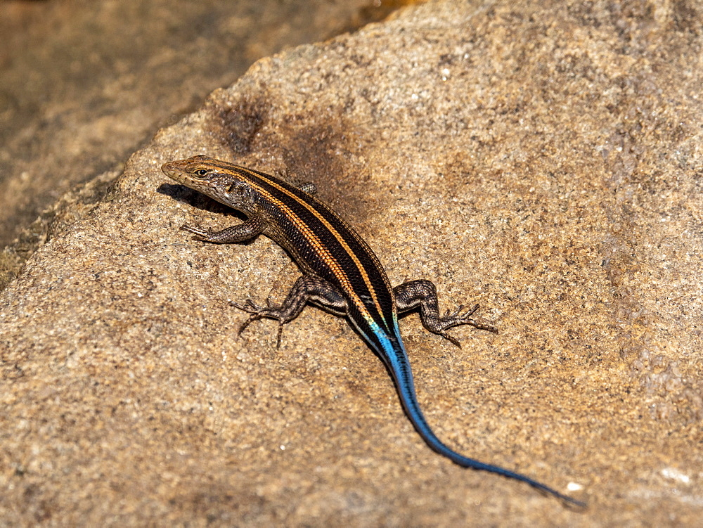Adult male African five-lined skink, Trachylepis quinquetaeniata, Savé Valley Conservancy, Zimbabwe.