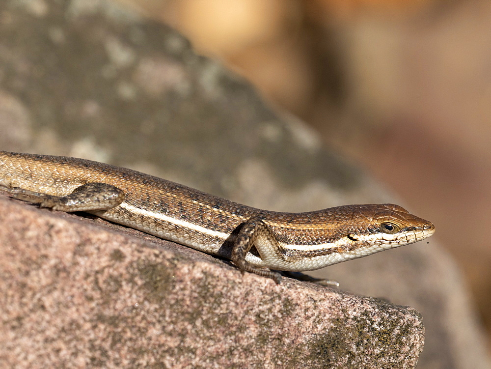 Adult Cape skink (Trachylepis capensis), in the Save Valley Conservancy, Zimbabwe, Africa