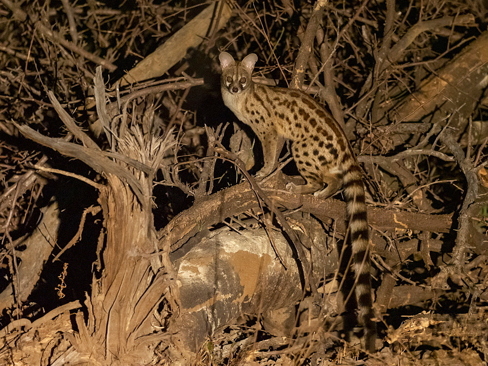 Adult rusty-spotted genet, Genetta maculata, at night in the Savé Valley Conservancy, Zimbabwe.