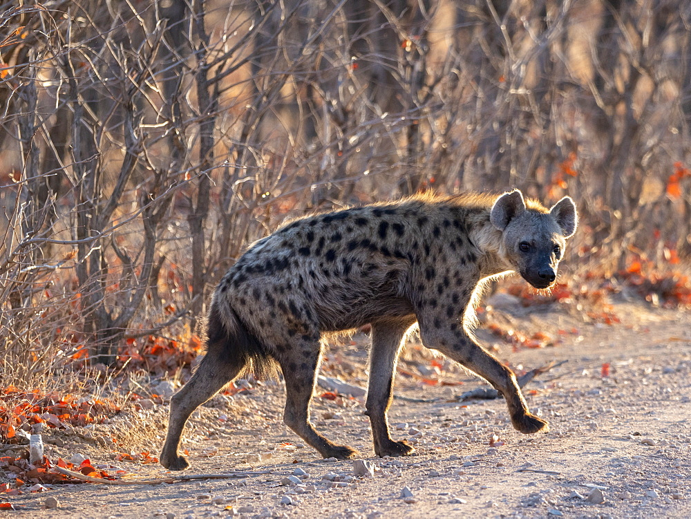 An adult spotted hyena, Crocuta crocuta, stepping out of the bush in Hwange National Park, Zimbabwe.