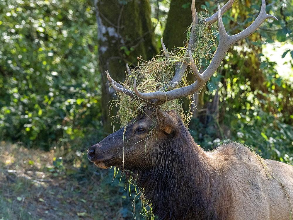Adult bull Roosevelt elk, Cervus canadensis roosevelti, in rut near Highway 101, California, USA.